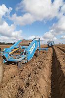 De clodding potato beds - Norfolk, April