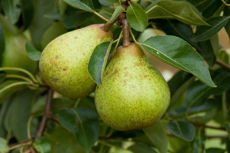 Pear 'Williams' Bon Chrétien', mid August. An early-cropping dessert pear, oftern claimed to be the world's most widely grown variety. Known in the USA as 'Bartlett', after the man who distributed it there in the early 19th century. Good flavour, but prone to scab. Does not keep.