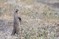 The banded mongooses we encountered on this trip were all quite shy. I landed a few shots of them standing at attention before they continued scurrying away.