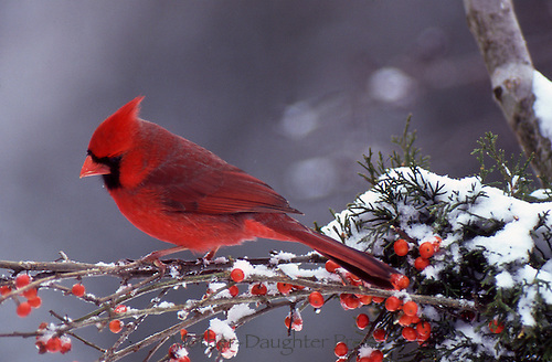 Cardinal with berries and snow, profile, Missouri USA