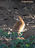 0329-1001  Meerkat, Suricata suricatta  © David Kuhn/Dwight Kuhn Photography.