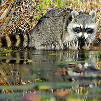 A Racoon washes food in the river.