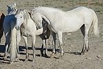 Wild horses show affection near a watering hole in the Sand Wash Basin Wild Horse Management Area, near Craig, Colorado