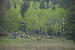 American elk, wapiti, Cervus elaphus, apsen, Populus tremuloides, spring, color, morning, forest, meadow, Rocky Mountain National Park, Colorado, USA