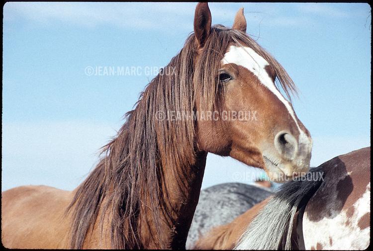 WILD HORSE ROUND-UP IN NEVADA BY BLM..WILD HORSE SANCTUARY IN SOUTH DAKOTA