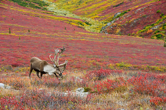 Barren Ground Caribou in velvet on the tundra of Denali National Park during the autumn.