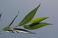 Bruch-Weide, Bruchweide, Knack-Weide, Knackweide, Weide, Blätter, Blatt vor blauem Himmel, Salix fragilis, Crack Willow