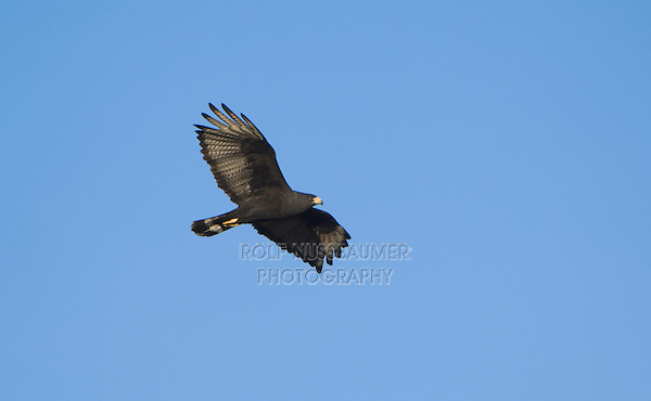Zone-tailed Hawk, Buteo albonotatus, adult in flight, Uvalde County, Hill Country, Texas, USA, April 2006