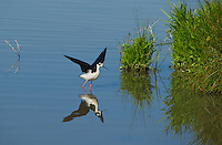 579500020 a wild black-necked stilt himantopus mexicanus stretches its wings in a pond in modoc national wildlife refuge california
