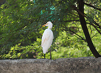 Egret standing on wall turning away.
