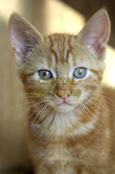 Domestic cat.animal Felis catus feline fur kitten .Mammalia housecat pet.CAP/CJ.©Chris Joseph/Capital Pictures.