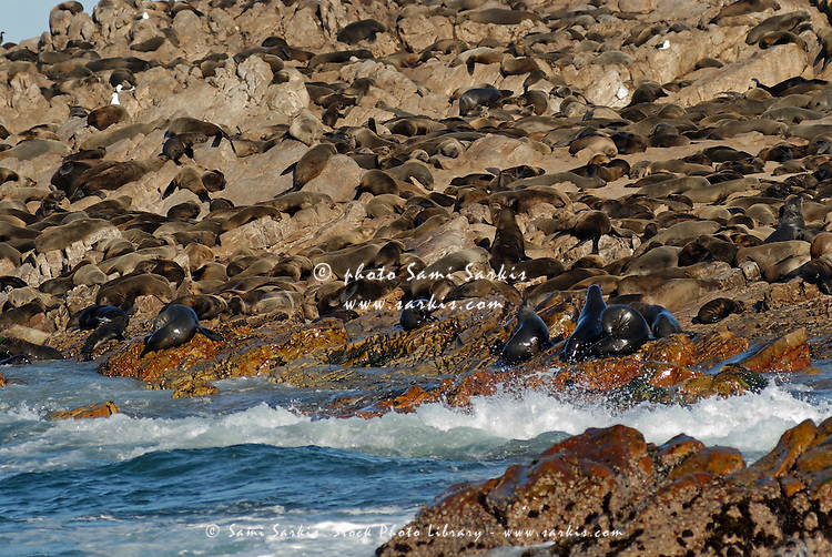 Cape fur seals colony in water and on the rock on Dyer Island nearby Gansbaii, South Western Cape, South Africa