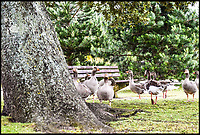 BNPS.co.uk (01202 558833)<br /> Pic:  DeniseAndrews/BNPS<br /> <br /> The gaggle of greylag geese which Denise Andrews approached in Poole Park, Dorset.<br /> <br /> Nature lover Denise Andrews was visiting her local park in Poole, Dorset, to feed the ducks and take some photos of the wildlife when she encountered the bad tempered greylag goose.<br /> <br /> Denise crept to within a few inches of the male and captured the moment it squawked in her face - revealing several rows of of sharp teeth including two on its tongue.
