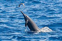 Central American Spinner Dolphin, Stenella longirostris centroamericana, spinning, Costa Rica, Pacific Ocean
