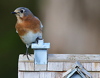 Female eastern bluebird checking out bird house