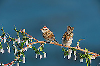 Chipping Sparrow (Spizella passerina), pair perched on icy Agarita (Berberis trifoliolata) branch, Dinero, Lake Corpus Christi, South Texas, USA