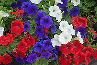 Patriotic Colors Garden Plants Red White Blue Stock Photos