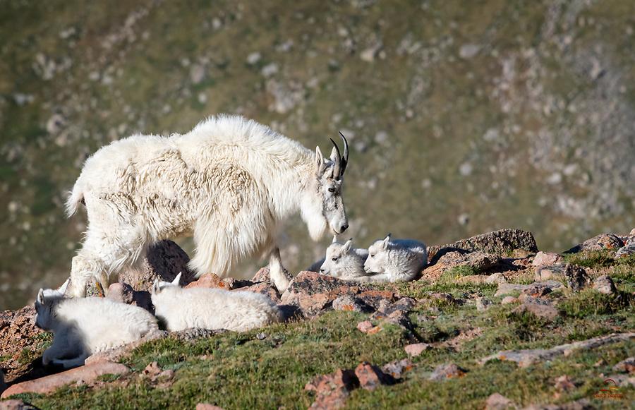Nanny Mountain Goat (Oreamnos americanus) checks on her two kids, who are taking a break on the edge of the cliff.  Mount Evans, Colorado.