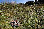 San Francisco Garter Snake (Thamnophis sirtalis tetrataenia) female basking on pond reeds, Pescadero, California