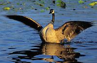Canada Goose..North America..(Branta canadensis).