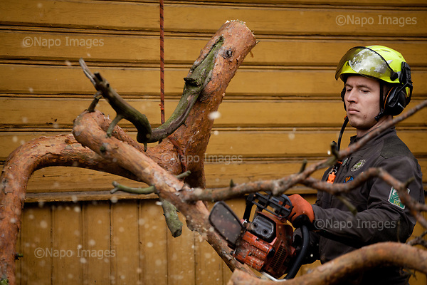 OTWOCK, POLAND, 15/03/2017:<br /> Beniamin Kruczala is cutting the branches of the tree that his team is felling in a small town of Otwock near Warsaw, March 15, 2017. The new controversial law has allowed to cut the trees that were previously banned and there's been a sure in cutting trees all over the country. <br /> (Photo by Piotr Malecki / Napo Images)<br /> ****<br /> OTWOCK,  15/03/2017:<br /> Wycinka dwoch drzew na prywatnej dzialce w Otwocku po wprowadzeniu przez ministra srodowiska Jana Szyszke prawa o swobodym wycinaniu drzew.Fot: Piotr Malecki / Napo Images
