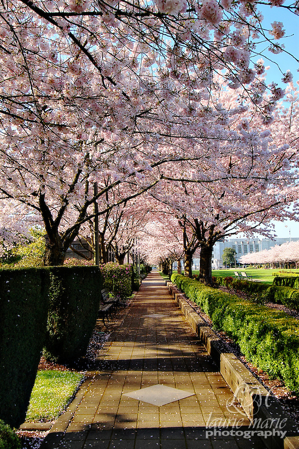 A cherry blossom pink walkway along the Capital Mall in front of Salem, Oregon's Capital building.