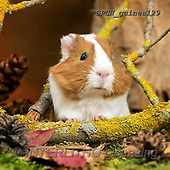 Xavier, ANIMALS, REALISTISCHE TIERE, ANIMALES REALISTICOS, photos+++++,SPCHGUINEA129,#A#, EVERYDAY ,funny