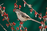 Northern Mockingbird (Mimus polyglottos), adult eating on ice covered Possum Haw Holly (Ilex decidua) berries, New Braunfels, San Antonio, Hill Country, Central Texas, USA