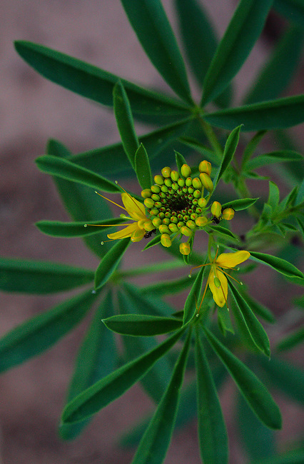 A Yellow Bee Plant beginning to flower at Zion National Park, Utah