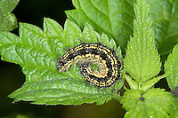 Kleiner Fuchs, Raupen, Raupe frisst an Brennnessel Blatt, Aglais urticae, Nymphalis urticae, small tortoiseshell