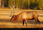 Bull Elk Tasting Pheromones at Sunset, Norris Junction, Yellowstone National Park, Wyoming