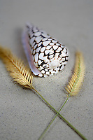 Concus Marmoreus sea shell and decorative grass.
