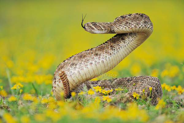 Western Diamondback Rattlesnake (Crotalus atrox), adult in striking pose in wildflower field,  Laredo, Webb County, South Texas, USA