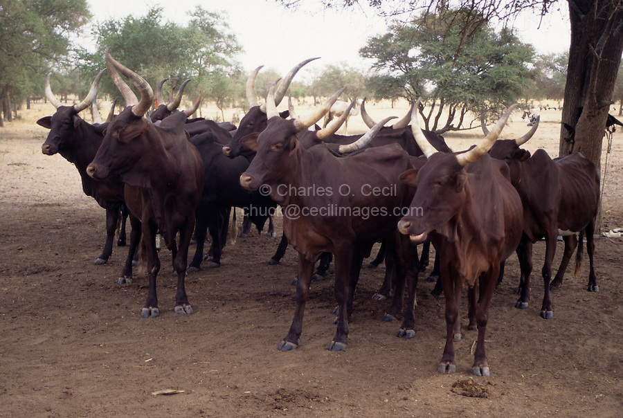 Akadaney, Niger.  Fulani Long-Horned Cattle in the Sahel, Central Niger.