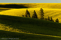 Pine trees contrasting against rolling hills of wheat crops, Palouse region of eastern Washington.