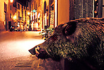 Wild Boar (taxidermy) in an alley in Orvieto, Italy.