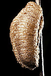 Praying (Chinese) Mantis Tenodera aridifolia egg case<br />