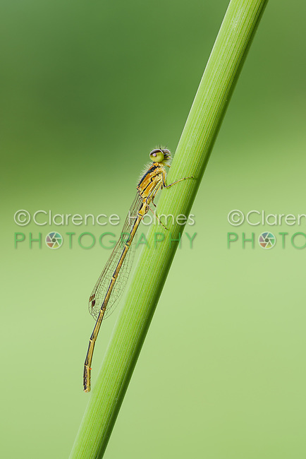 A teneral male Fragile Forktail (Ischnura posita) damselfly perches on a plant stem.