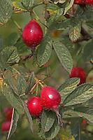 Apfel-Rose, Apfelrose, Apfel - Rose, Früchte, Hagebutten, Rosa villosa, Apple Rose, Soft Leaved Rose