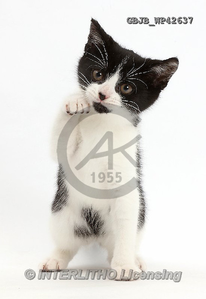 Kim, ANIMALS, REALISTISCHE TIERE, ANIMALES REALISTICOS, fondless, photos,+Black-and-white kitten, Loona, 3 months old, with paw raised,++++,GBJBWP42637,#a#