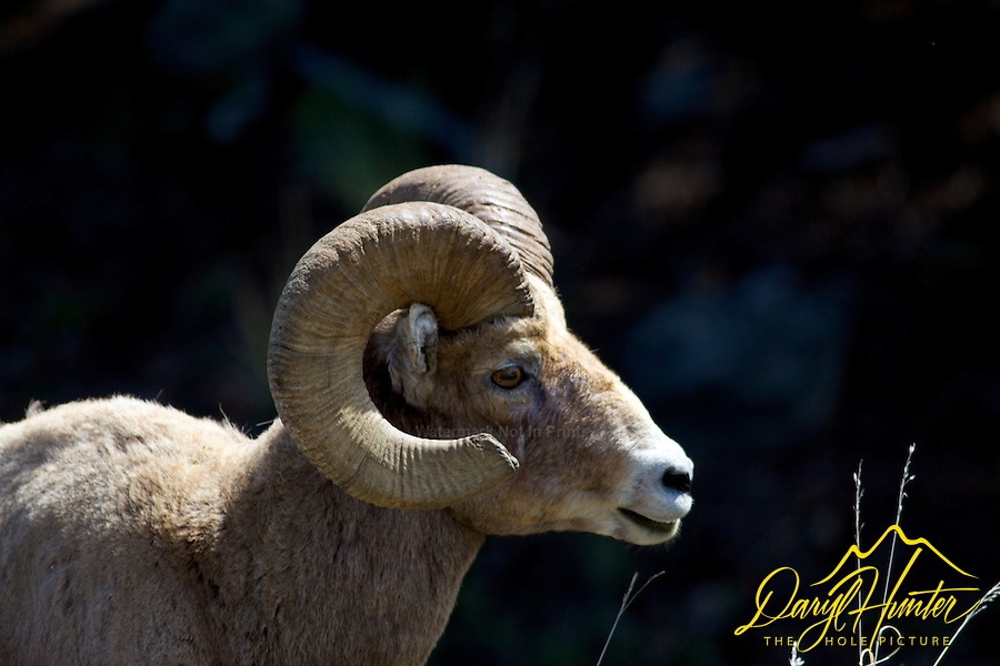 Trophy Bighorn Sheep Ram, Yellowstone National Park