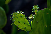 Nature Art Photograph of the Opuntia, also known as nopales or paddle cactus and the Nopal Tree Cactus. The lighting on this cactus especially the strong back lighting really brought out the new tiny spines that are beginning to grow on each individual paddle of this cactus.