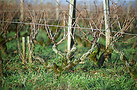 Vines in Vouvray style pruning in the vineyard. Chenin blanc. Le haut Lieu, Domaine Huet, vouvray, Loire, France