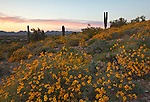 Brittlebush bloom at Silly Mountain near Gold Canyon and Apache Junction, Arizona USA
