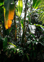 Tropical Rainforest Glasshouse (formerly Le Jardin d'Hiver or Winter Gardens), 1936, René Berger, Jardin des Plantes, Museum National d'Histoire Naturelle, Paris, France. Low angle view of Musa plants lit by the afternoon light shining through the Art Deco style glass and metal roof.