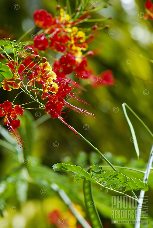 Beautiful red and yellow tropical blossoms against a muted green background of foliage at McBryde gardens which are part of the 5 National Tropical Botanical gardens in the US.