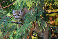 Mountain Lion or cougar (Puma concolor) in western red cedar tree.   West slope Cascade Mountains of Washington.  Fall.