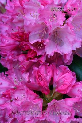 Gisela, FLOWERS, photos(DTGK530,#F#) Blumen, flores, retrato