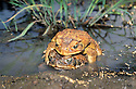 Cane Toads (Bufo marinus) male in amplexus with female in farm dam near Rockhampton, Queensland