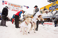 Saturday, March 3, 2012  Wade Marrs dog Louie (right) jumps in anticipation of leaving the  Ceremonial Start of Iditarod 2012 in Anchorage, Alaska.